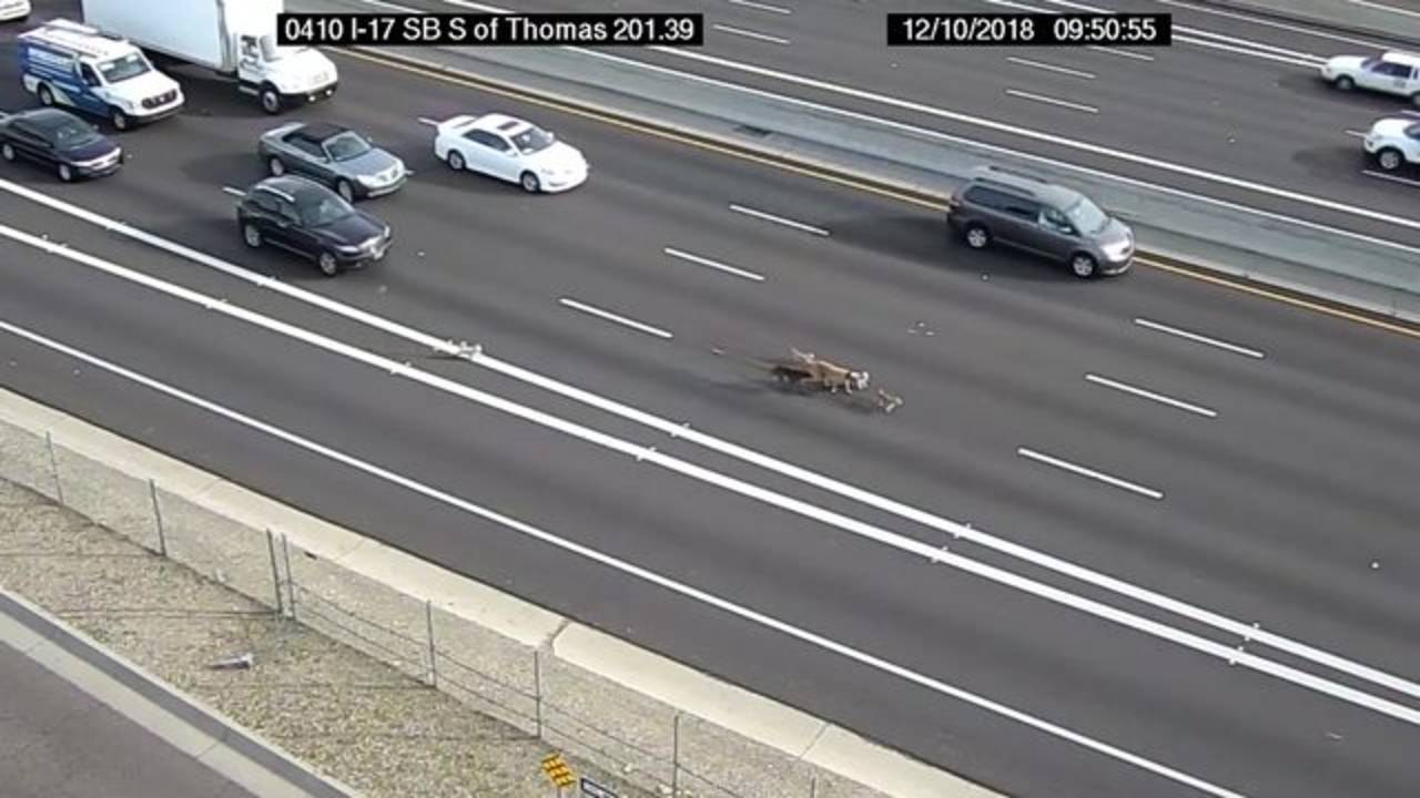 Dogs hold up traffic on Phoenix freeway