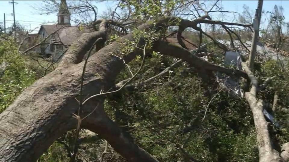 10-12 Toppled oak trees in Millville community on Panama City