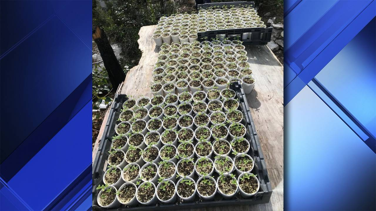 Marijuana Plants Bahamas_1550863765758.jpg.jpg