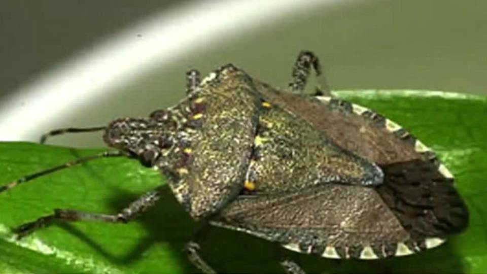 Stink bugs in Metro Detroit