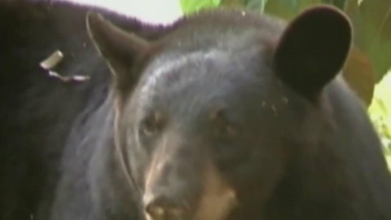 Florida black bear_35078312