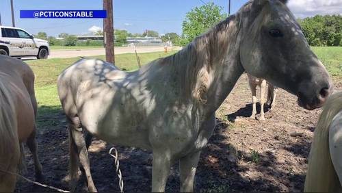 11 emaciated horses seized from La Porte property