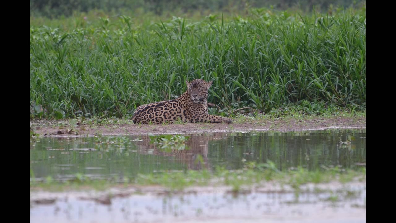 Pregnant jaguar lounging_1570414503420.jpg.jpg