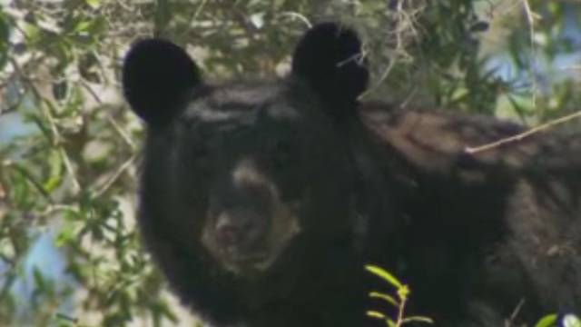 bear in driveway ups delivery hits snag