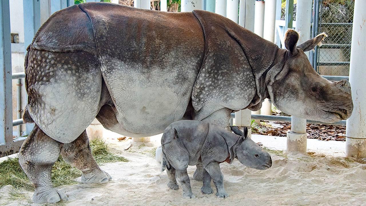 Zoo Miami rare rhino baby