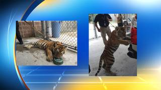 Tiger found roaming near Houston after floods