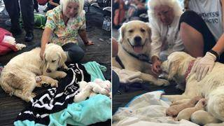 Service Dogs Gives Birth to 8 Puppies at Florida Airport Gate