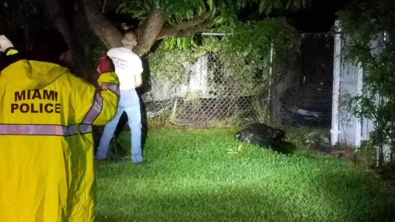 Wildlife officials trap 10-foot alligator wandering around Little Havana 3