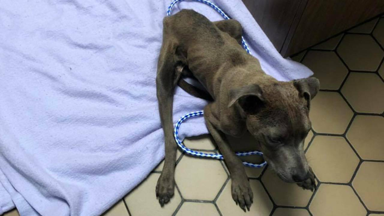 Saint Eastpointe stray dog injured malnourished