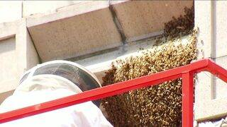 Un-'bee'-lievable sight: 30,000 bees safely removed from downtown…