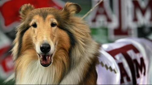 Texas A&M mascot Reveille VIII laid to rest