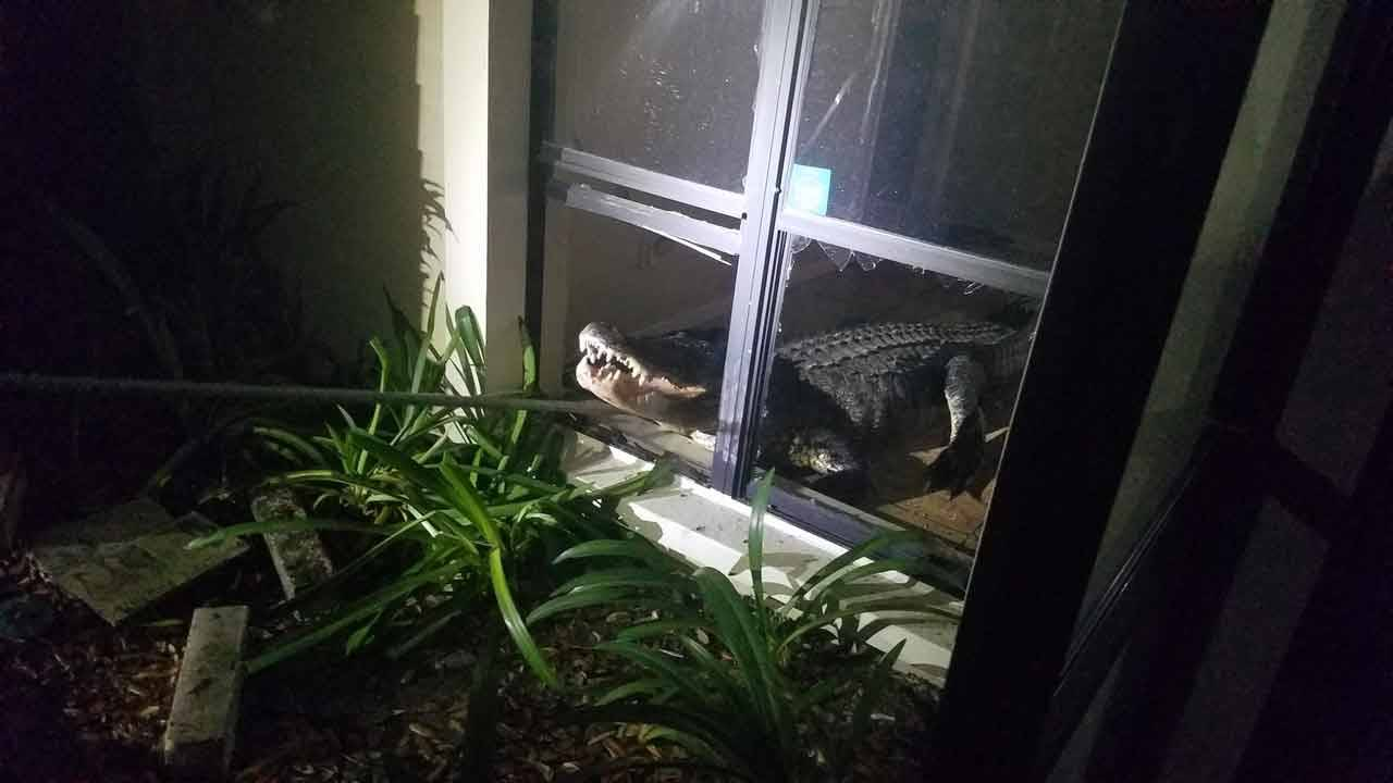 Gator going through Clearwater window