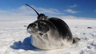 Seals with antennas helped solve Antarctic mystery