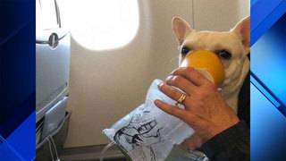 Plane crew rescues French bulldog with oxygen mask for flight