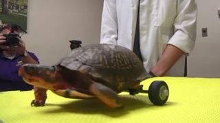 Turtle that lost back legs gets set of wheels