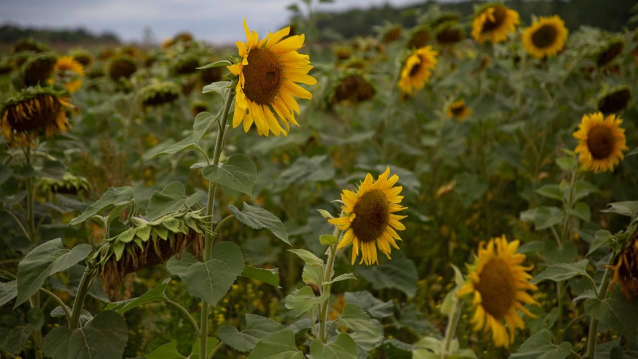 sunflower field 1_1566925487757.jpg.jpg