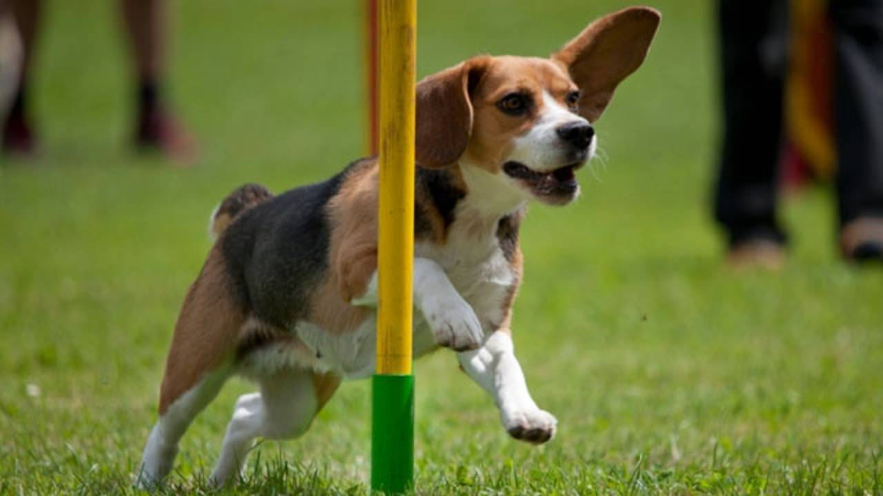 dog pet racing_345238673093892