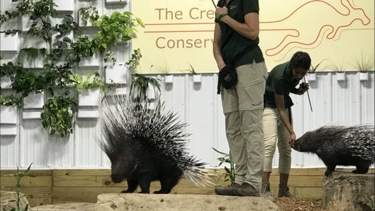 The Creature Conservancy porcupines