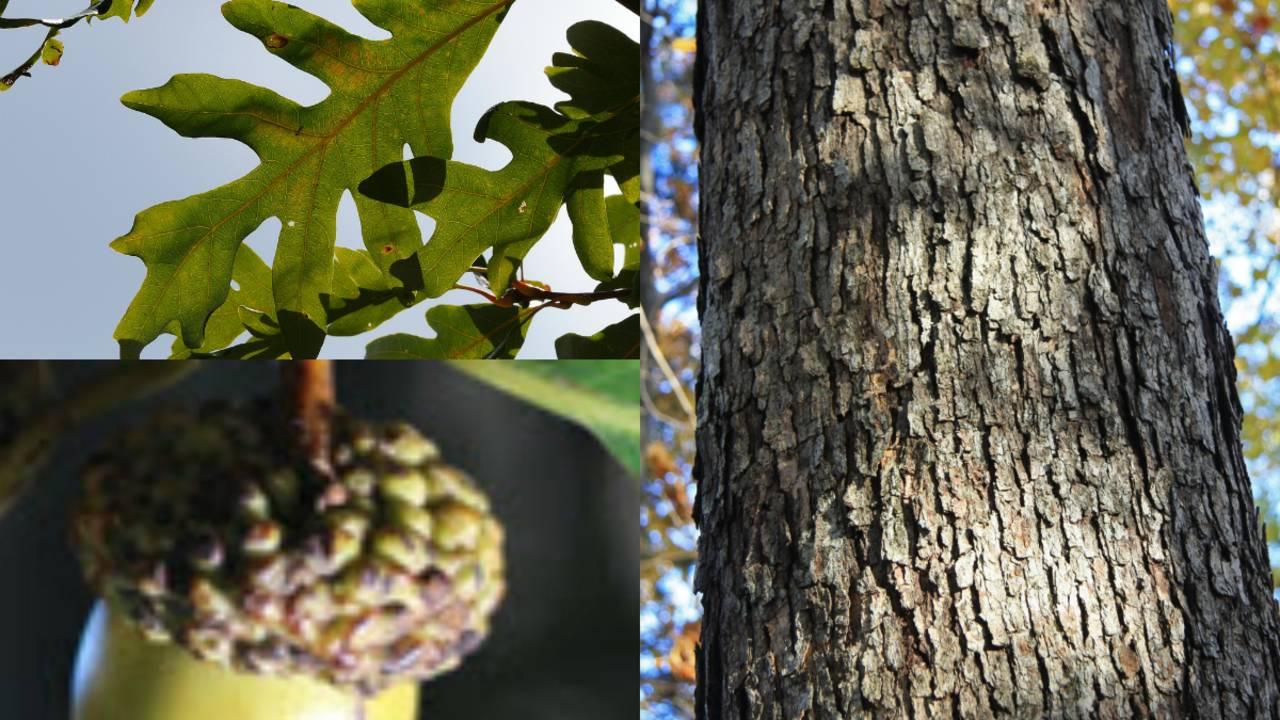 white oak_1563796769868.jpg.jpg