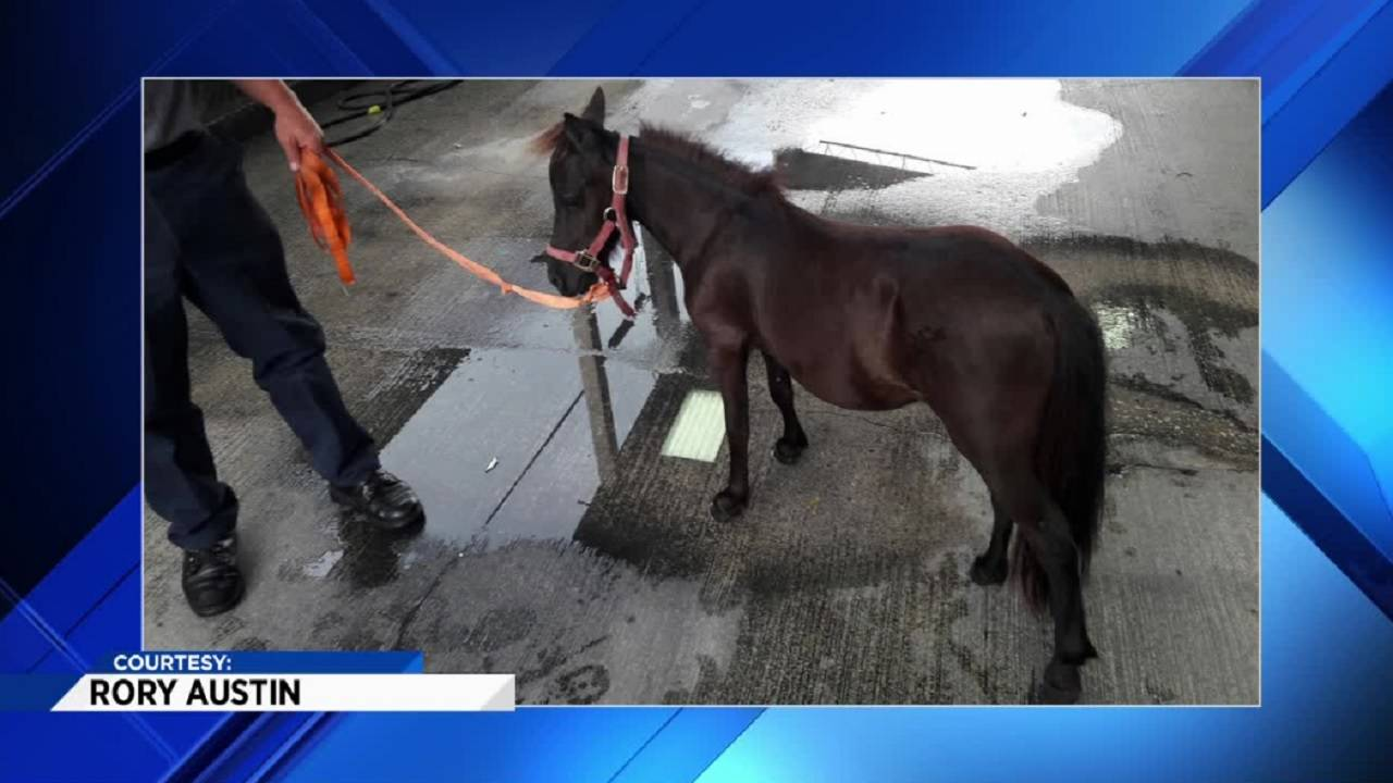 Small horse after being captured in Miami Gardens