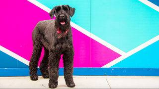 Meet Izzy the Giant Schnauzer, another of Ann Arbor's favorite dogs