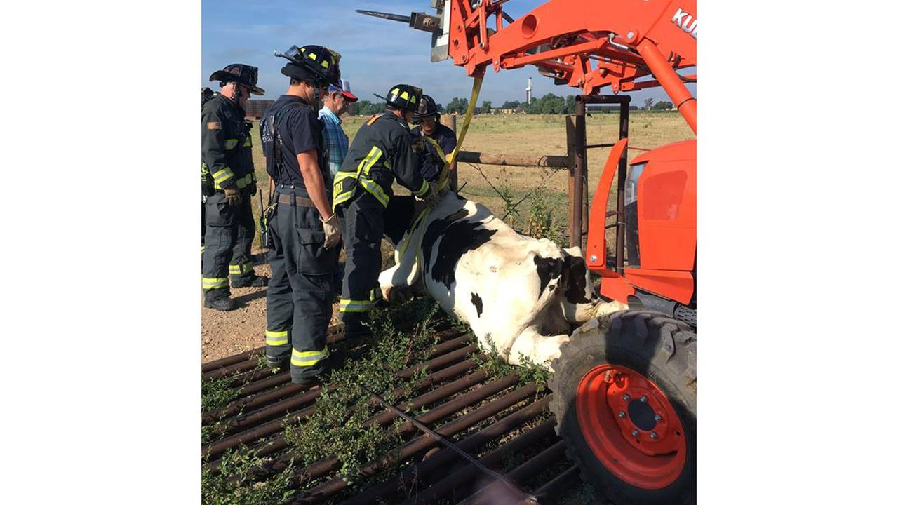 cow stuck two_1532354361815.jpg.jpg55565030