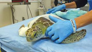 Sea turtles get alternative procedure used to treat tumors