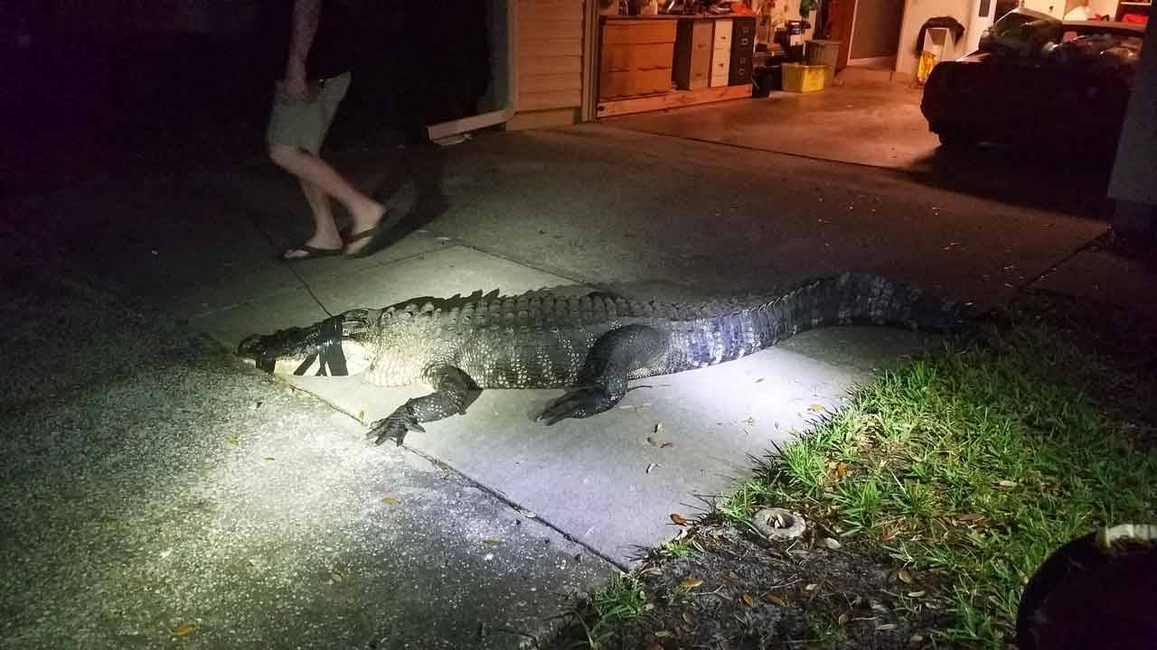 Gator captured after breaking into Clearwater home