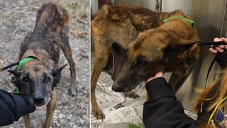 Malnourished, tattooed dog found in December dies in ACS custody