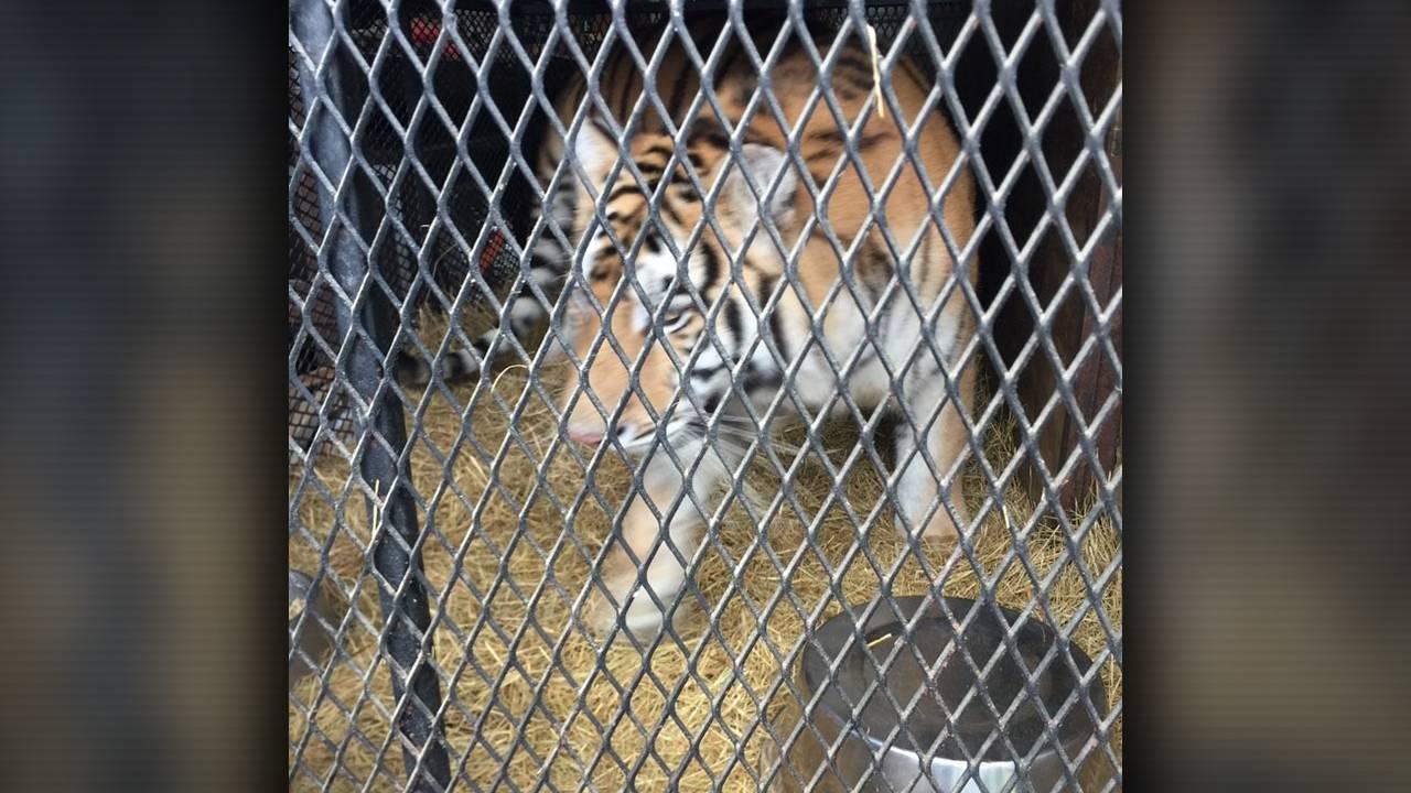 tiger in cage moving_1549925474374.jpg.jpg