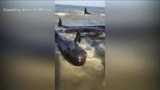 Rare sight: Dozens rush to help beached whales on St. Simons Island