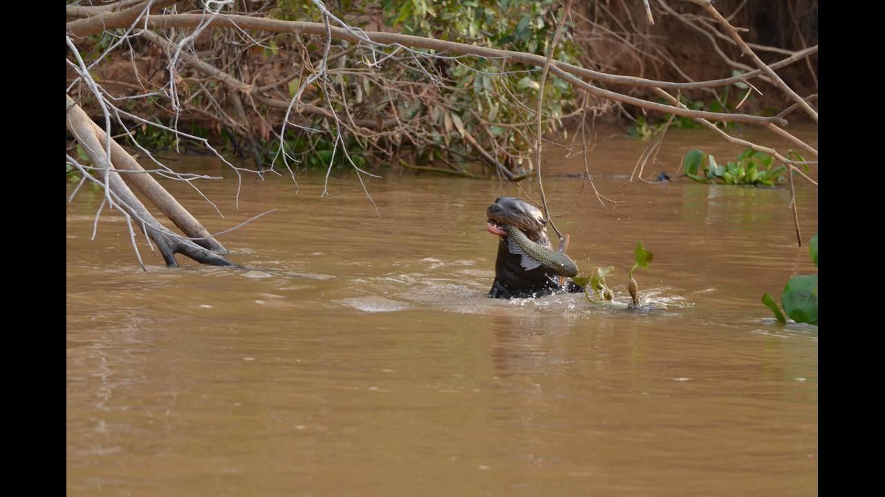 Otter at den with fish_1570414669390.jpg.jpg