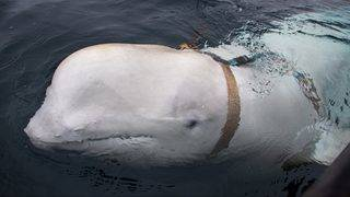 Harness-wearing whale 'trained by Russian military,' researchers say