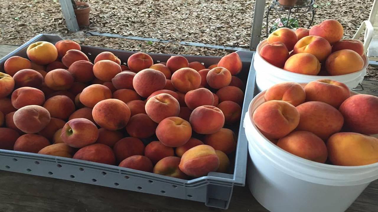 Green Acres Fernery & Citrus U-Pick peaches_1548096235945.jpg.jpg