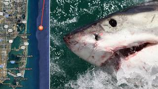 Great white shark tracked lurking just off South Florida