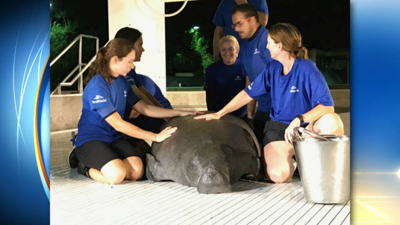 Manatee rescued from storm drain 2