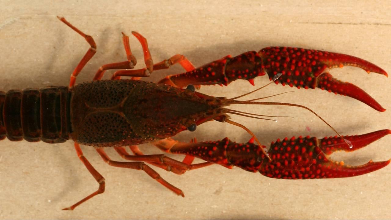 Red_swamp_crayfish_1500490585836.jpg