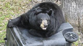 Florida wildlife officials look to address bear population without hunt