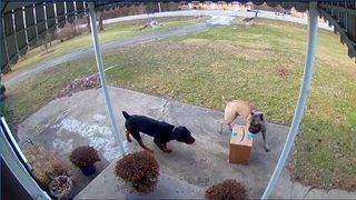 Four-legged thief and accomplice caught on camera stealing package