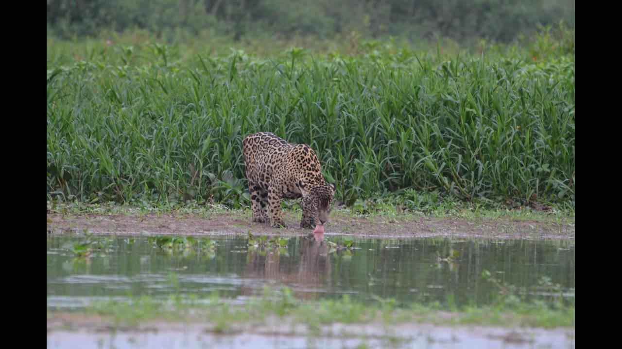 Pregnant jaguar drinking_1570414497209.jpg.jpg