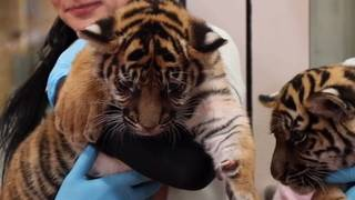 Jacksonville Zoo debuts tiger cubs