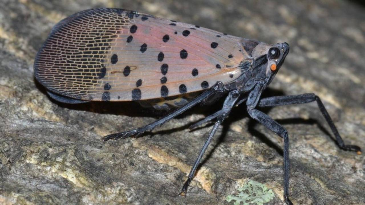 Spotted Lanternfly adult lateral view (GregHoover)_1555932069020.jpg.jpg