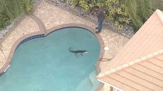 That's no floatie, that's a gator in a Florida pool
