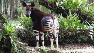 Can the Congo save itself, mythical okapi from destruction?