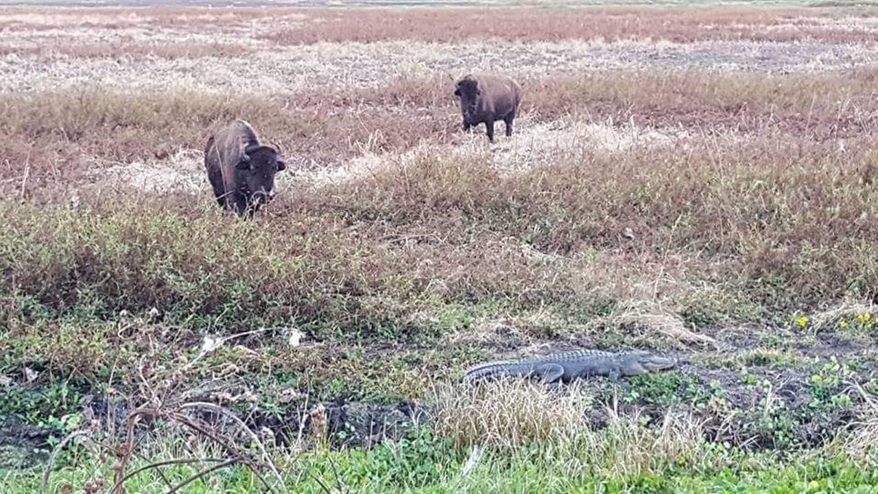bison gator_1539622663368.JPG.jpg