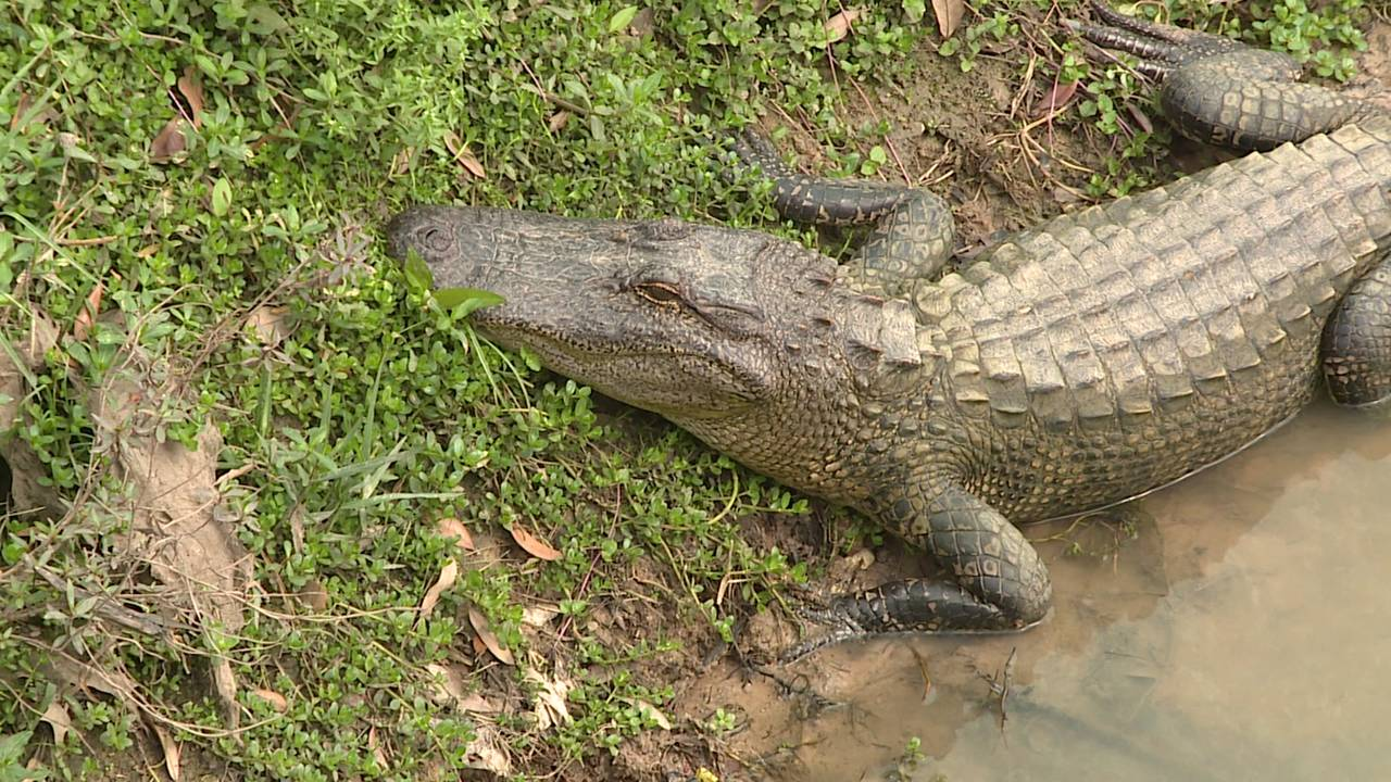 Alligator in bayou cinco ranch 031119