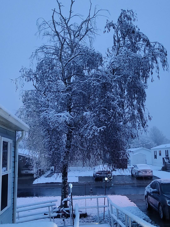 Snow on the birch tree