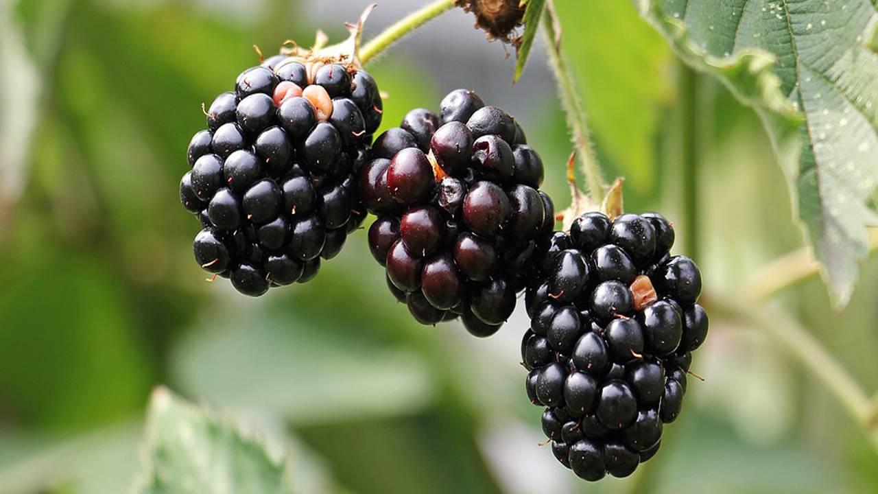 blackberries-1539540_960_720_1548103697779.jpg