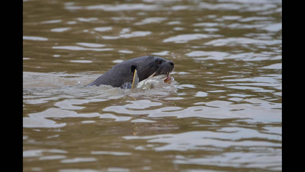 Otter eating 2_1570414277163.jpg.jpg