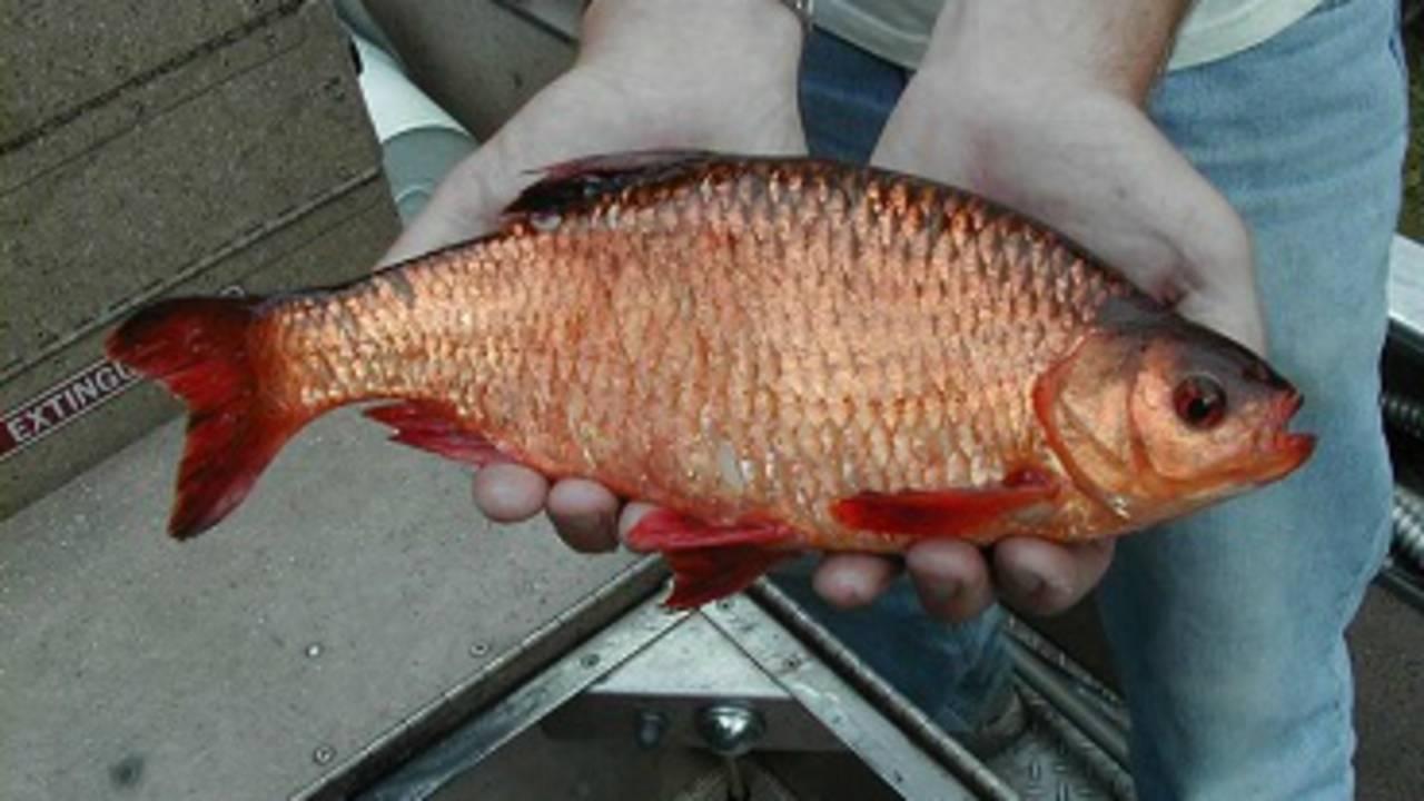 Rudd FISH_1531139078937.jpg.jpg